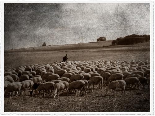 Schäfer mit Schafen