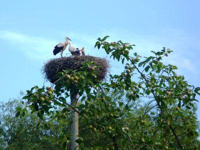 Storch mit Küken im Nest