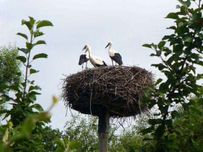 Zwei Störche im Nest
