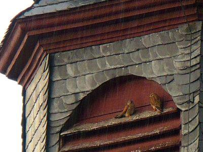 Vögel im Kirchturm
